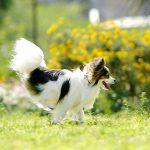 マラセブシャンプーは犬アトピーに効果あり?