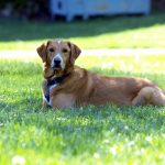 アポキル錠の犬の副作用 – 非ステロイドの強み