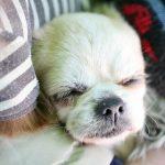 犬アトピーの原因と避妊手術は関係があるの?