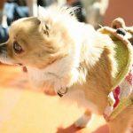 犬のアトピー 症状と抗生物質での治療を解説