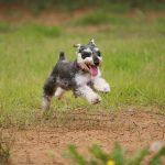 アポキル錠の副作用 – 犬アトピー治療の新薬